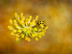 cucumber beetle on flower (Jaci Sloan) Tags: october 2017 cucumberbeetle insects beetles nature