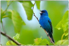 Indigo bunting on an overcast evening (RKop) Tags: armlederpark cincinnati ohio raphaelkopanphotography d500 200500nikkorzoom