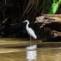 Snowy Egret (Michael Burke Images) Tags: snowyibis tortuguero spring costarica