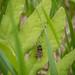 Sensitive Fern Bee