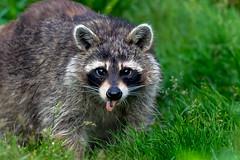FriendshipOffering (jmishefske) Tags: wehr mother birdseed nikon nature center whitnall milwaukee franklin female june raccoon wisconsin park mama 2019 d850 eating