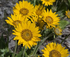 Balsamroot (Michael Burke Images) Tags: columbiagorge wa flowers columbiahillsstatepark balsamroot