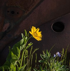 Balsamroot and Rust (Michael Burke Images) Tags: columbiagorge wa flowers columbiahillsstatepark balsamroot