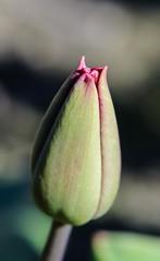 New Bloom (Michael Burke Images) Tags: wa skagitvalley tulips