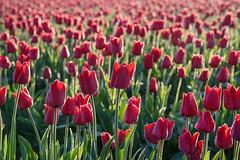 Dewey Tulips (Michael Burke Images) Tags: skagitvalley wa flowers sunrise tulips