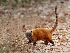 Pantanal_3863 (Jimmy Vangenechten 76) Tags: geo:lat=1653466897 geo:lon=5672728852 geotagged brazilië brazil pantanal wildlife animal dier poconé matogrosso estradatranspantaneira transpantaneirahighway mt060rodoviatranspantaneira microrregiãodoaltopantanal mesorregiãocentrosulmatogrossense centralwestregion pousoalegrelodge azarasagoeti dasyproctaazarae