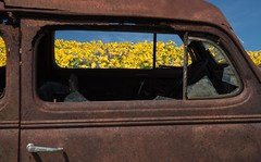 Out the Window (Michael Burke Images) Tags: columbiagorge lupine spring wa columbiahillsstatepark balsamroot