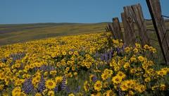 Balsamroot Hills (Michael Burke Images) Tags: columbiagorge lupine spring wa fencepost columbiahillsstatepark balsamroot