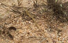 Two-Lined Dragon, Port Stuart Road (S_Crews) Tags: australia queensland portlandroad herp lizard reptile agamidae dragon agama twolineddragon diporiphora diporiphorabilineata