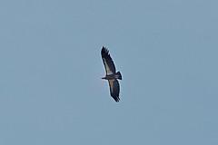 Gymnogyps californianus (California Condor) (birdgal5) Tags: california sanbenitocounty pinnaclesnp pinnaclesnationalpark condorgulchtrail aves cathartidae californiacondor gymnogyps gymnogypscalifornianus nikon d4 nikond4 80400mmf4556gafsedvr 80400mmf4556gvr