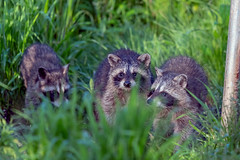 KitzFeeding (jmishefske) Tags: wehr mother eating nikon nature center whitnall milwaukee franklin female june raccoon wisconsin park mama 2019 d850 birdseed