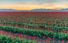 Tulips in the Skagit Valley (Michael Burke Images) Tags: sunrise tulips spring skagitvalley
