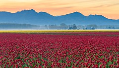 Mountains and Flowers (Michael Burke Images) Tags: sunrise skagitvalley spring tulips