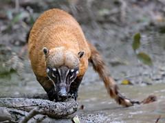 Pantanal_3874 (Jimmy Vangenechten 76) Tags: geo:lat=1653482620 geo:lon=5672700376 geotagged brazilië brazil pantanal wildlife animal dier poconé matogrosso estradatranspantaneira transpantaneirahighway mt060rodoviatranspantaneira microrregiãodoaltopantanal mesorregiãocentrosulmatogrossense centralwestregion pousoalegrelodge azarasagoeti dasyproctaazarae