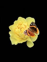 Papillon #butterfly #papillon #butterfly_n_flower #yellow #yellowflowers #love #photoart #photography #photographer #art #digitalart #ottawa #montreal #toronto #vancouver #london #paris #berlin #nyc #iran #iranian #persian #tehran #uk #japan #tokyo (Taymaz Valley) Tags: butterfly papillon butterflynflower yellow yellowflowers love photoart photography photographer art digitalart ottawa montreal toronto vancouver london paris berlin nyc iran iranian persian tehran uk japan tokyo