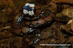 Sri Lanka Pipe Snake (Cylindrophis maculatus) DSC_2278 (fotosynthesys) Tags: srilankapipesnake cylindrophismaculatus pipesnake cylindrophiidae snake reptile srilanka