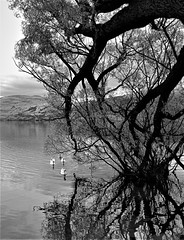 a Lake Hayes fairytale (SM Tham) Tags: newzealand southisland lakehayes lake water tree mountains ducks birds reflections blackandwhite monochrome branches