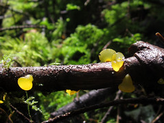 Guepiniopsis alpina (chaerea) Tags: bc bryophyte canada forest forestfloor fungi green guepiniopsis jellyfungi moss mushroom mycology nature woodland