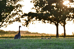 Floating on Grass (jeremywangler) Tags: geese canadageese birds kansas topcity topeka
