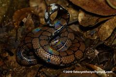 Sri Lanka Pipe Snake (Cylindrophis maculatus) DSC_2275 (fotosynthesys) Tags: srilankapipesnake cylindrophismaculatus pipesnake cylindrophiidae snake reptile srilanka