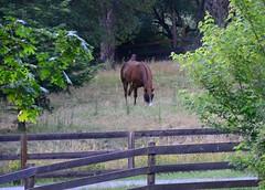 Trey (-Brian Blair-) Tags: odc rvc horse fence sooc