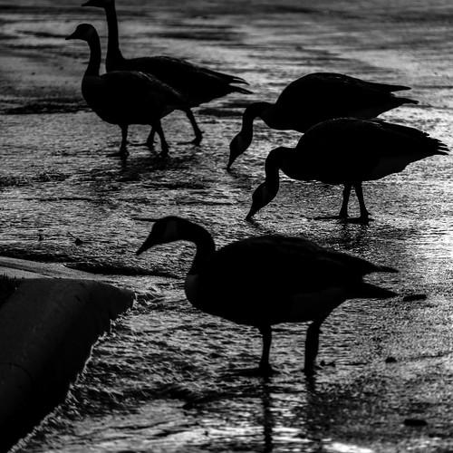 Geese in the Rain