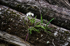 Brassavola nodosa blooming on old fallen tree (long time no signs of you ... I'll wait till you s) Tags: brassavolanodosa brassavola orhidee orchid orchidaceae orchids panama nativeorchidspanama