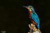 Kingfisher (Paul S Wharton) Tags: kingfisher moneypennys portadown river bird cusher armagh craigavon northern ireland