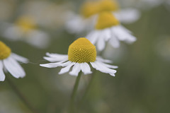 Chamomile or earth-apple (Jan.Timmons) Tags: matricariachamomilla pacificnorthwest dancinginwind cloudyday asteraceae germanchamomile danclingflowers yellowgold whitepetals achooo outdoors outside nature