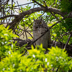 Great Horned Owl (Kevin Schonhofer) Tags: great horned owl