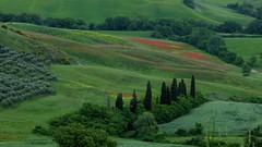 San  Quirico d'Orcia (ursula.valtiner) Tags: natur nature landschaft landscape provinzsiena zypresse cypress toskana toscana tuscany oliven olives olivenbäume olivetrees ginster gorse italien italy
