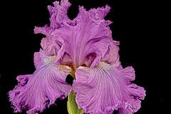 Iris (prokhorov.victor) Tags: цветок цветение цветы растения флора сад природа макро лето ирис