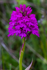 Pyramidal Orchid (Anacamptis pyramidalis) (BiteYourBum.Com Photography) Tags: dawnandjim dawnjim biteyourbum biteyourbumcom copyright©2019biteyourbumcom copyright©biteyourbumcom allrightsreserved uk unitedkingdom gb greatbritain england canoneos7d canonefs60mmf28macrousm canonmacrotwinlitemt26exrt apple imac5k lightroom6 ipadair appleipadair camranger manfrotto055cxpro3tripod manfrotto804rc2pantilthead loweproprorunner350aw hampshire hampshirewildlifetrust hampshireandisleofwightwildlifetrust hampshireisleofwightwildlifetrust southdowns selborne orchids orchid orchidaceae noarhill pyramidal anacamptis pyramidalis pyramidalorchid anacamptispyramidalis