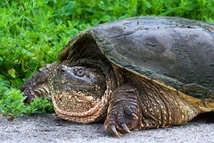 Large Snapping Turtle (imageClear) Tags: turtle snapper snappingturtle animal wildlife monster beast huge large old resting sheboygan wisconsin aperture nikon d500 80400mm imageclear flickr photostream