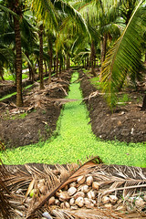 Coconut orchard irrigation canal with green algae and leaves near Bangkok Thailand. (JJ Doro - Bangkok) Tags: colors thai thailand coconut coconuts color frond fronds gree orchard palm palmtree vivid vividcolor