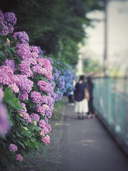 Narrow path of the hydrangea (Kito K (fxkito2)) Tags: flower japan dof tokyo fineart bokeh lumix olympus hydrangea nature color omd