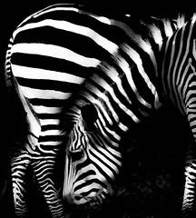 Zebra Zebra (tvdflickr) Tags: zebra nikon film f4 zooimage photobytomdriggers thomasdriggersphotography tvdimages monochrome black white blackandwhite