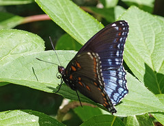 Red-Spotted Purple (Bruce Bolin) Tags: