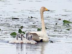 Laulujoutsen - Whooper Swan - Cygnus cygnus 099 (Hannu Tervonen) Tags: 2019 linnut birds laulujoutsen whooperswan juvenile iidesjärvi