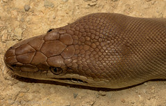Olive Python (Liasis olivaceus) (Mattsummerville) Tags: liasisolivaceus olivepython oscarrange python reptile snake