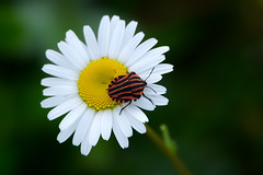 strimlus på prästkrage (Håkan Jylhä (Thanks for +1000000 views)) Tags: strimlus prästkrage white flower vit gul röd orange dof håkan jylhä sony rx10iv sweden sverige