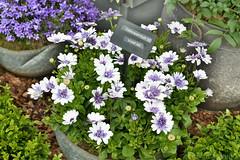 "Osteospermum 3D ""Violet Ice"" (Bri_J) Tags: rhs chatsworthflowershow2019 chatsworthhouse edensor derbyshire uk chatsworth flowershow nikon d7500 hdr osteospermum 3d violetice flowers asteraceae africandaisy"