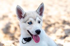 Crowley. (www.altglas-container.de) Tags: dog portrait haustier husky crowley pet hund