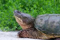 Snapping Turtle Profile (imageClear) Tags: turtle snappingturtle animal wildlife sheboygan wisconsin aperture nikon d500 80400mm imageclear flickr photostream