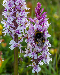 Buff-tailed Bumblebee (Bombus terrestris) on Common Spotted Orchid (Dactylorhiza fuchsii) (BiteYourBum.Com Photography) Tags: dawnandjim dawnjim biteyourbum biteyourbumcom copyright©2019biteyourbumcom copyright©biteyourbumcom allrightsreserved uk unitedkingdom gb greatbritain england canoneos7d canonefs60mmf28macrousm canonmacrotwinlitemt26exrt apple imac5k lightroom6 ipadair appleipadair camranger manfrotto055cxpro3tripod manfrotto804rc2pantilthead loweproprorunner350aw hampshire hampshirewildlifetrust hampshireandisleofwightwildlifetrust hampshireisleofwightwildlifetrust southdowns selborne orchids orchid orchidaceae noarhill commonspotted dactylorhiza fuchsii commonspottedorchid dactylorhizafuchsii bufftailed bumblebee bombus terrestris bufftailedbumblebee bombusterrestris