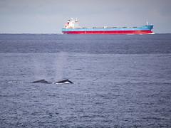 Busy on the high seas (vk2gwk - Henk T) Tags: whale mammal animal ocean ship bulkcarrier
