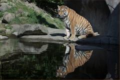 Mirrored tiger (Fisherman01) Tags: 1tier amurtiger mitwasser spiegelung zoozürich