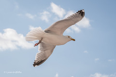 Herring Gull D85_8969.jpg (Mobile Lynn) Tags: herringgull birds tubenosesgulls seabirds gull nature bird charadriiformes coast coastal europeanherringgull fauna gulls laridae larusargentatus sea seabird shorebird shorebirds wildlife