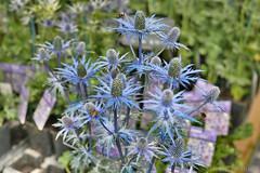 "Eryngium ""Big Blue"" (Bri_J) Tags: rhs chatsworthflowershow2019 chatsworthhouse edensor derbyshire uk chatsworth flowershow nikon d7500 eryngium bigblue flowers blue hdr eryngium×zabelii apiaceae seaholly"
