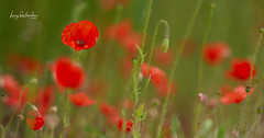 Poppies (hedes) Tags: coquelicots green herb field champ poppies poppy sony alpha7riii